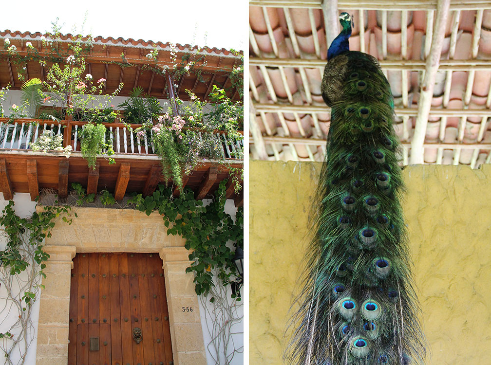 cartagena peacock