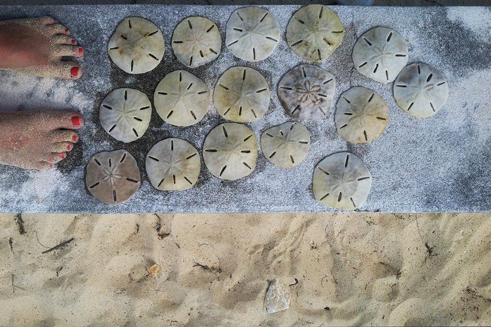 eleuthera sand dollars